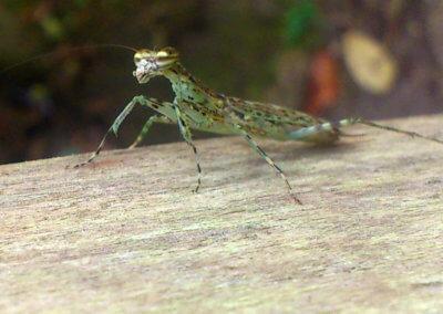 nicaragua-cabana-mantis-9