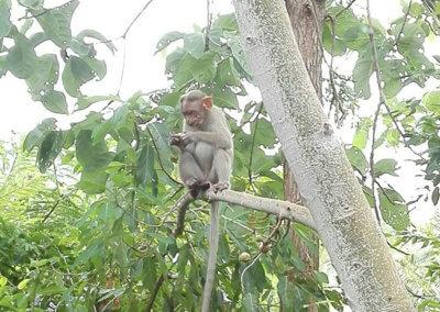 Indien-Tiruvannamalai-Affe-3