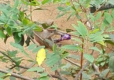 Indien-Tiruvannamalai-Affe-6